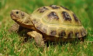 Horsfield Tortoise