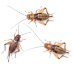 Livefoods Silent Crickets Standard
